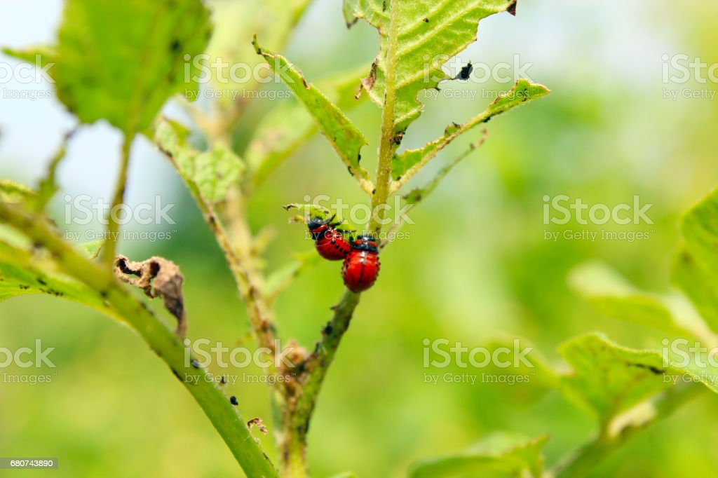 larvae of colorado beetles on the leaves of a potato stock photo