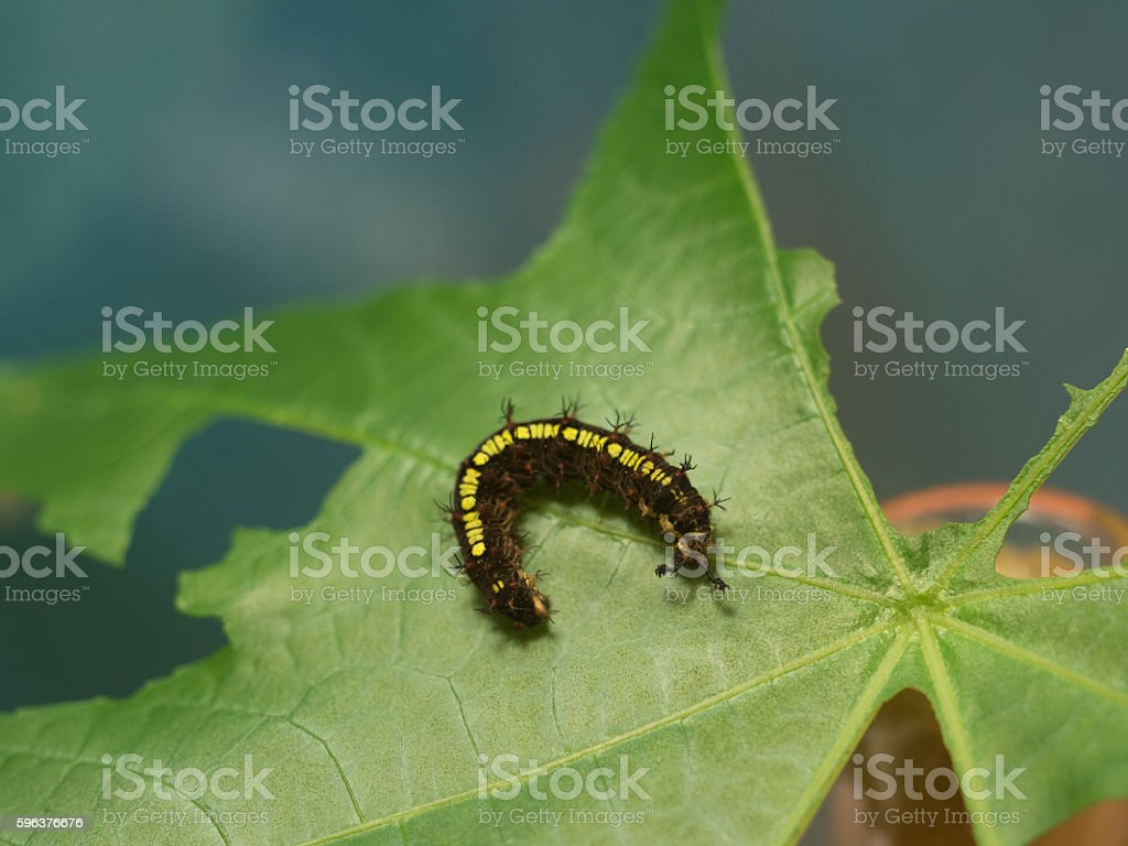 Larvae of the butterfly stock photo