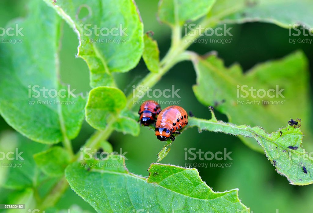 Larvae of the Colorado beetle stock photo