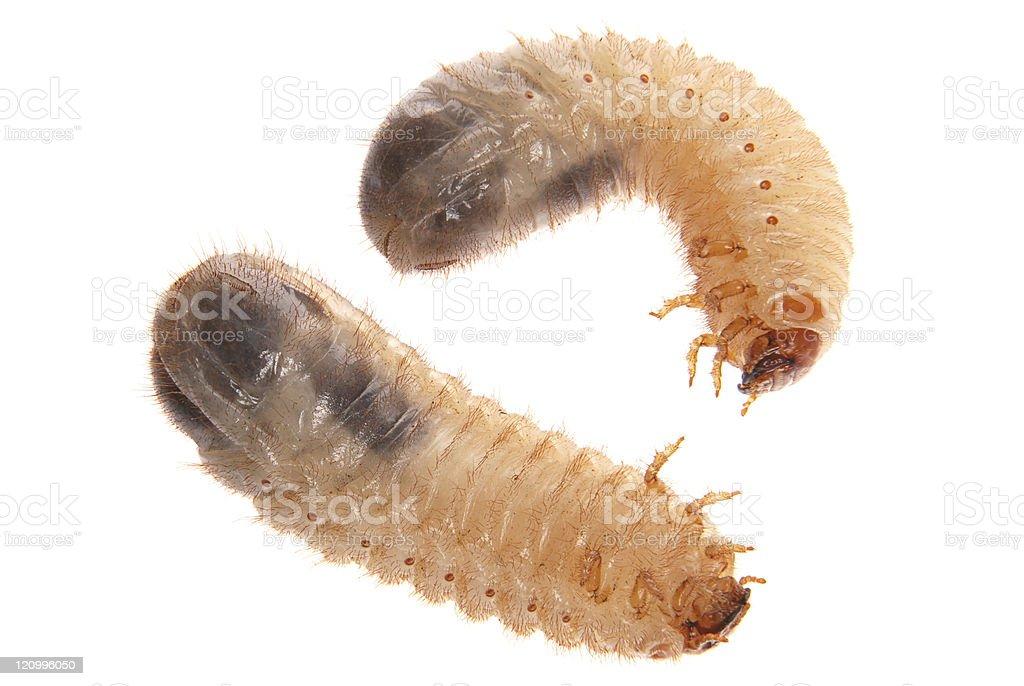 Larvas of cockchafer stock photo