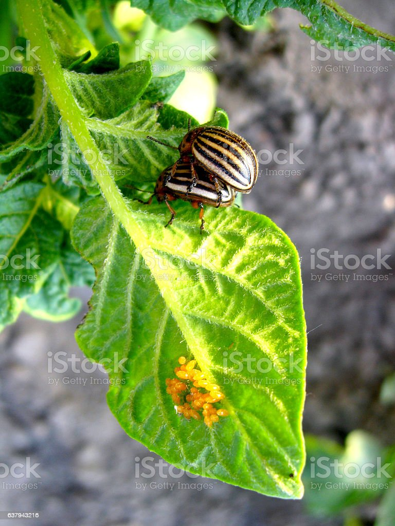 larvas of colorado beetles sitting on potato stock photo