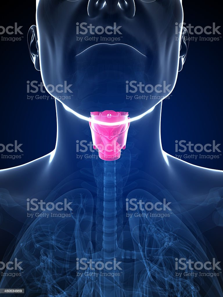larynx stock photo