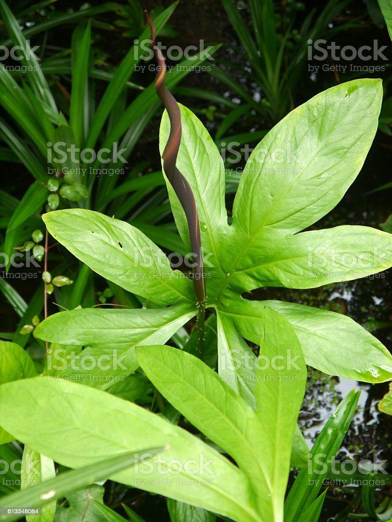 Lasia spinasa stock photo