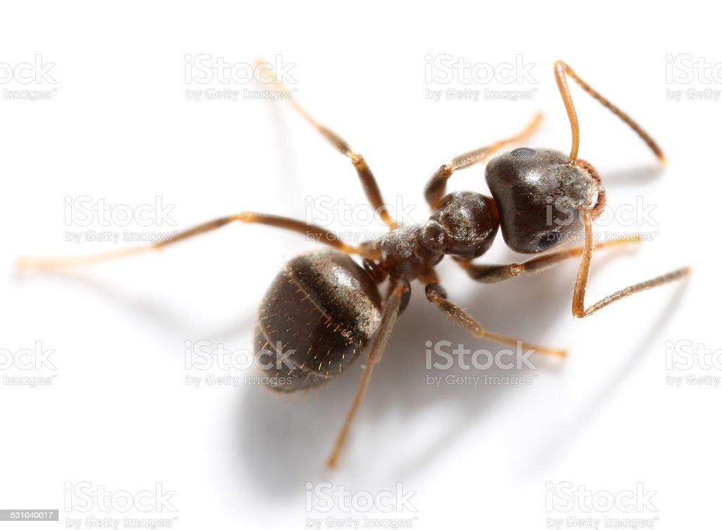 Lasius niger stock photo