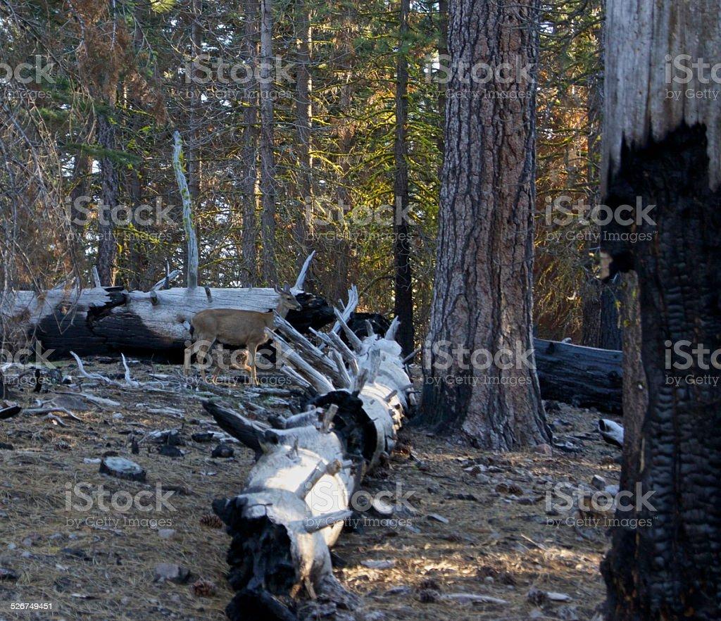 Lassen Volcanic Deer stock photo