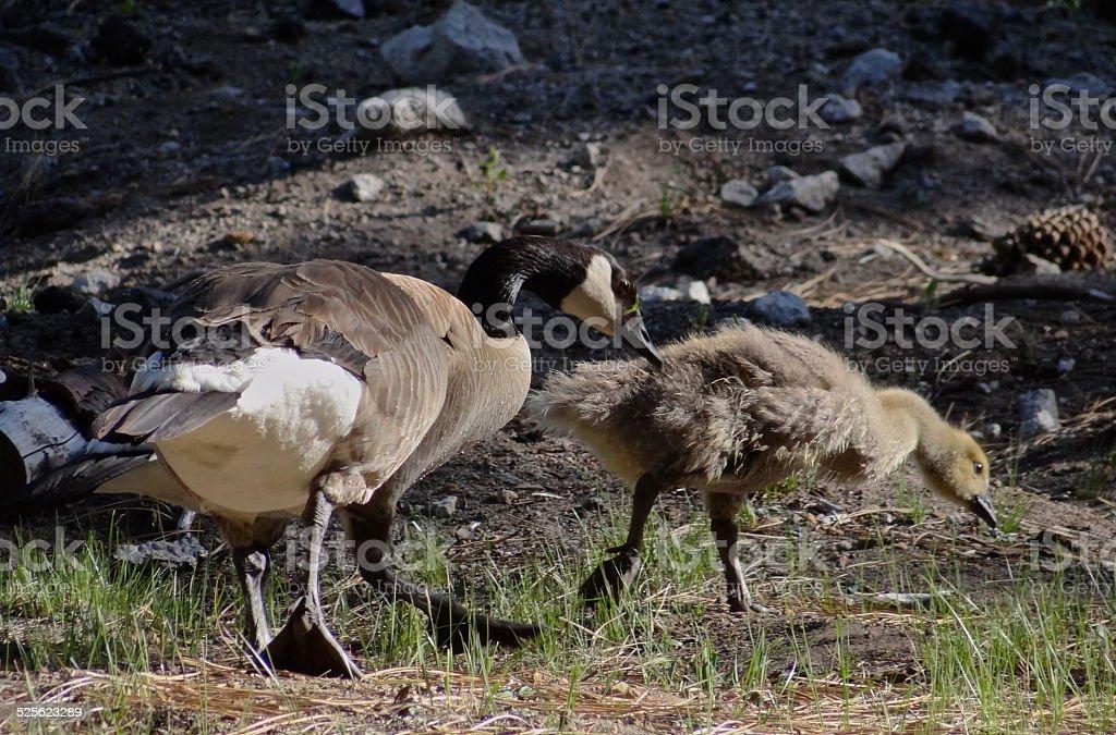 Lassen Volcanic Geese stock photo