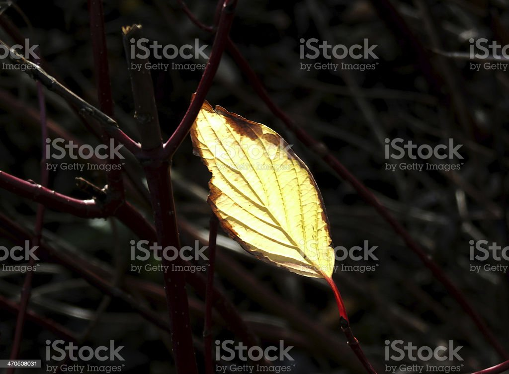 Last Autumn Leaf royalty-free stock photo