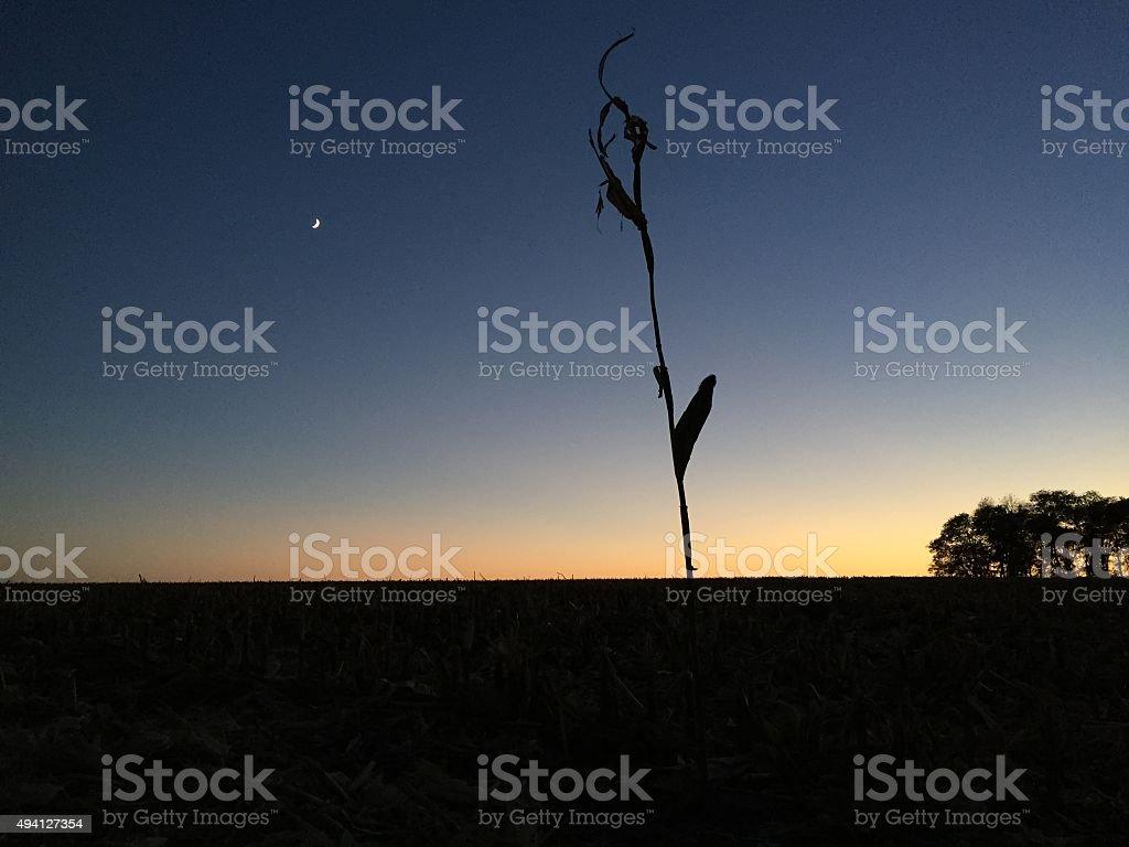 last cornstalk stock photo