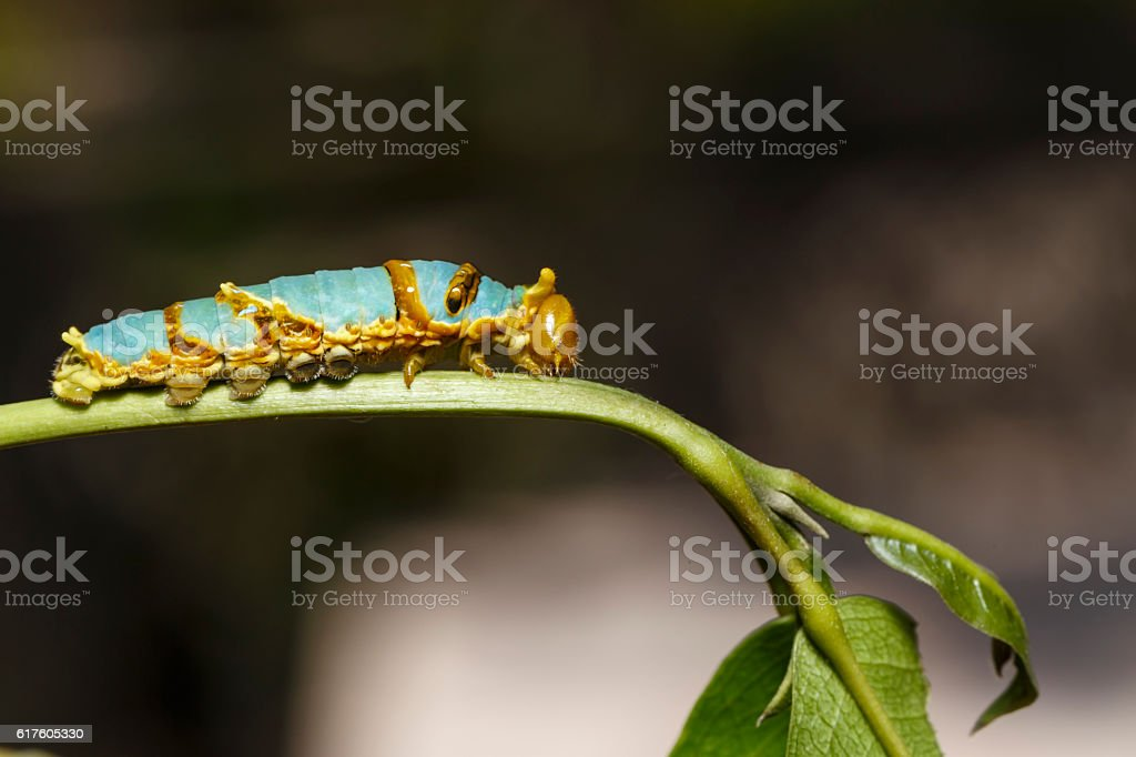 Last instar caterpillar of banded swallowtail butterfly (Papilio stock photo