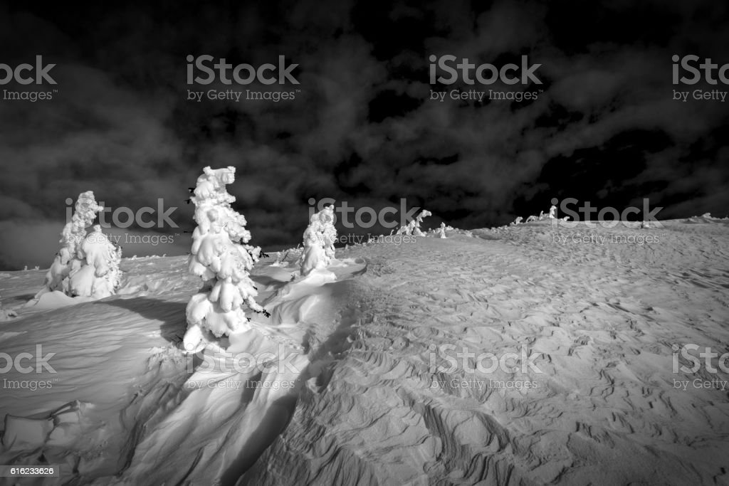 Last small Spruce trees wrapped in snow stock photo