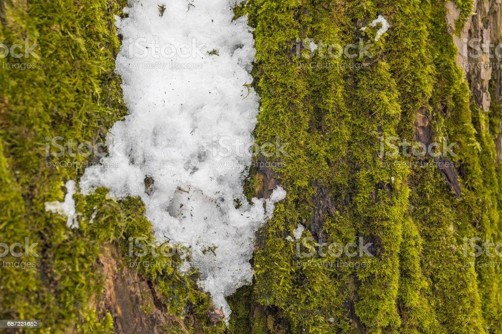 Last snow on the green moss. stock photo