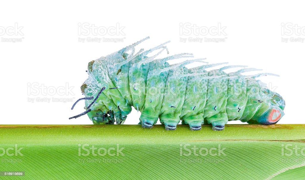 Last stage of largest caterpillar attacus atlas moth stock photo