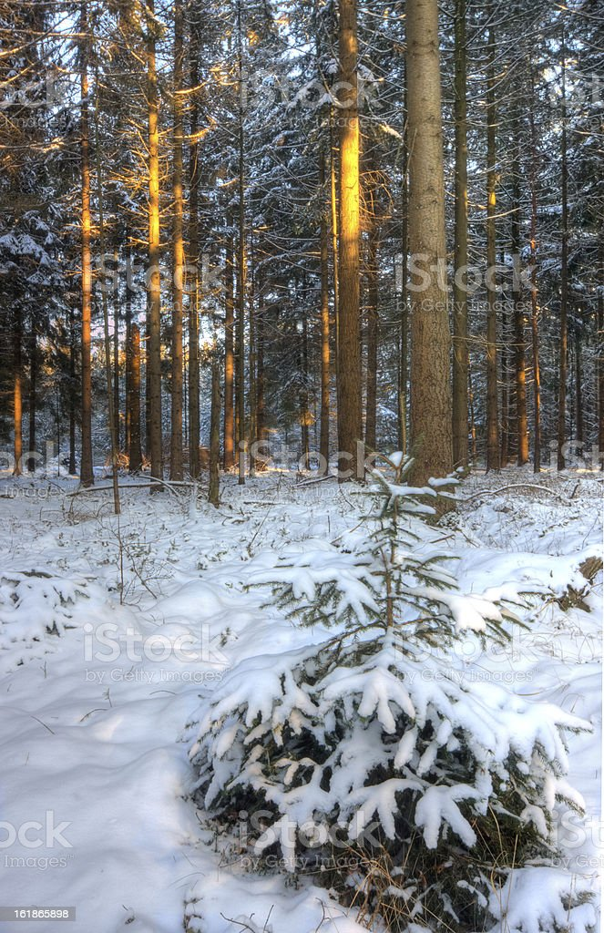 Last sunlight in snowy forest royalty-free stock photo