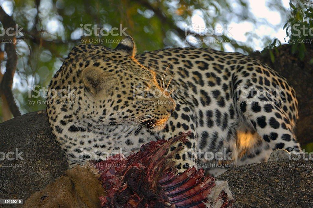 Last sunlight on a leopard stock photo