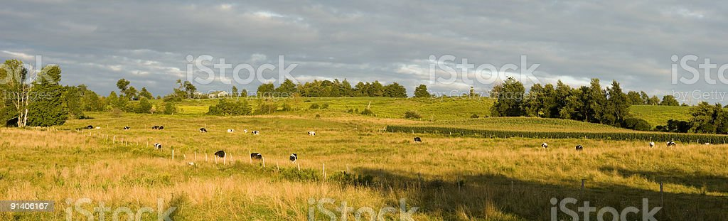 Late Afternoon Landscape Of A Green Field With Cows royalty-free stock photo