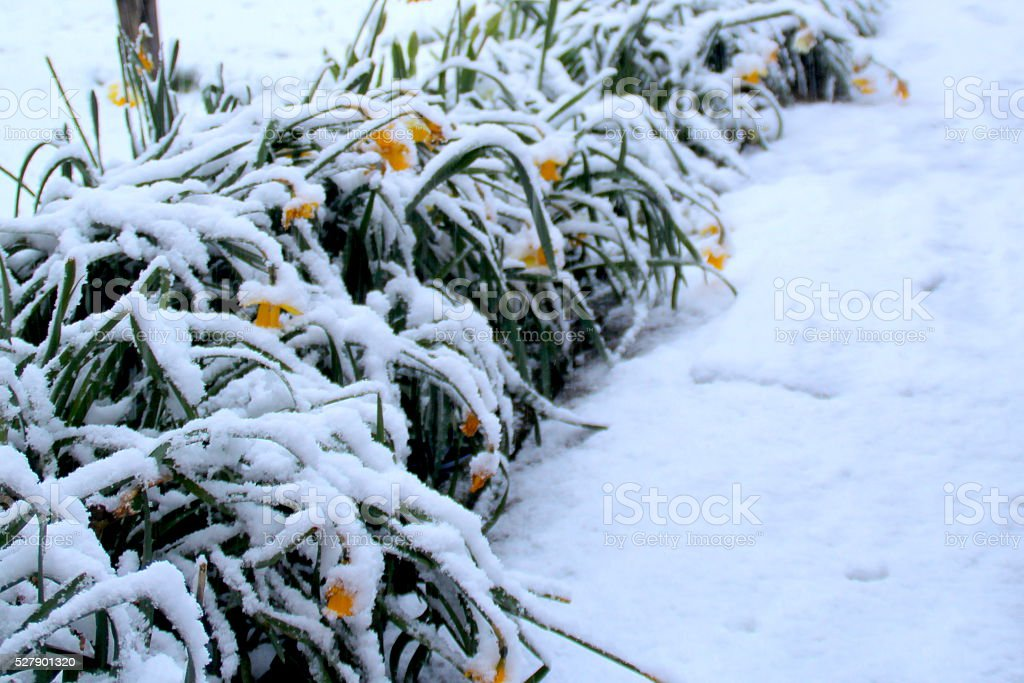 Late April snow on Daffodils and pathway, West Yorkshire, UK stock photo