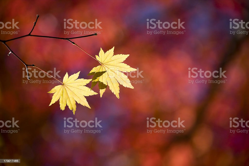 Late autumn leaves royalty-free stock photo