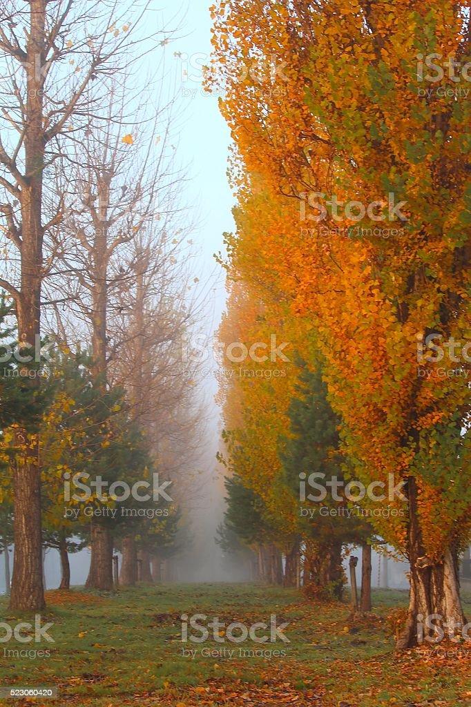 Late autumn morning mist of the poplar tree-lined stock photo