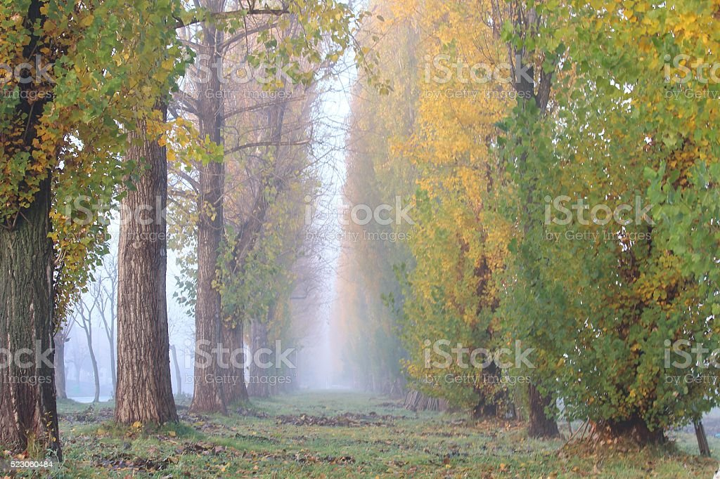Late autumn morning mist of the poplar tree-lined stock photo