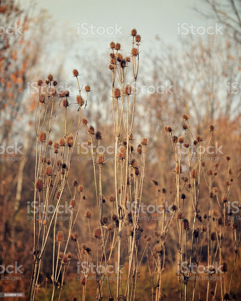 Late Autumn Thistles (Vintage) stock photo