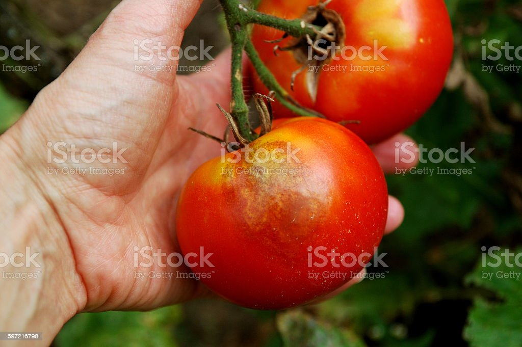 late blight of tomato stock photo