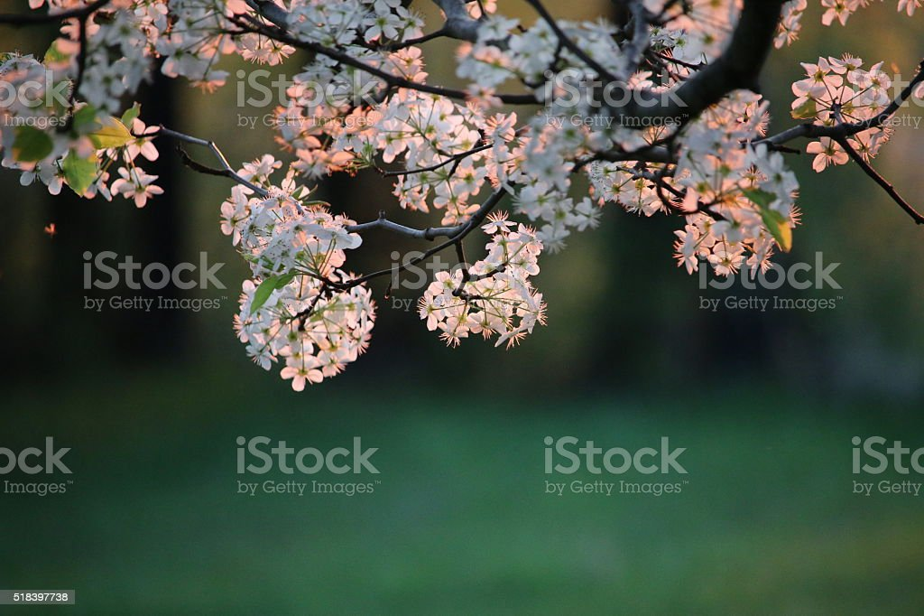 Late evening pear tree blossoms in spring stock photo