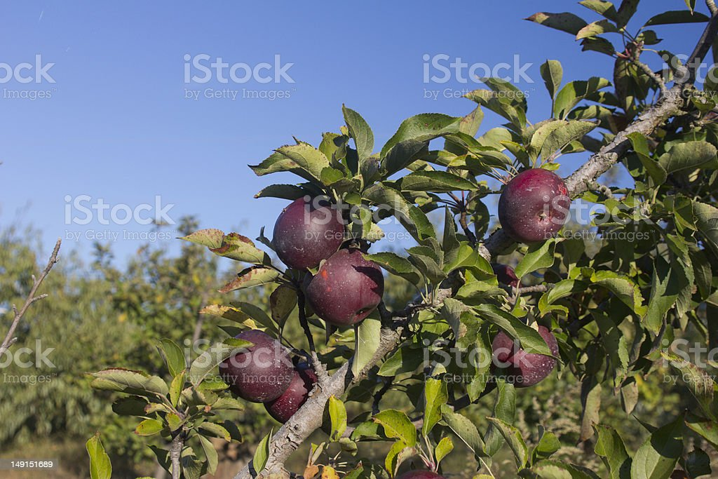 late fall apples royalty-free stock photo
