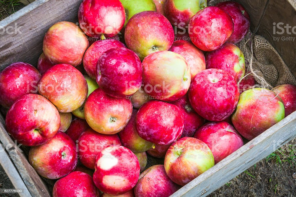 Late Summer Apples stock photo