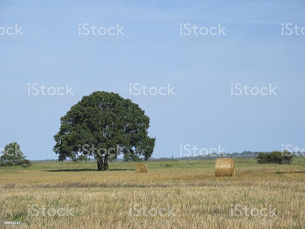 Late summer field and tree royalty-free stock photo