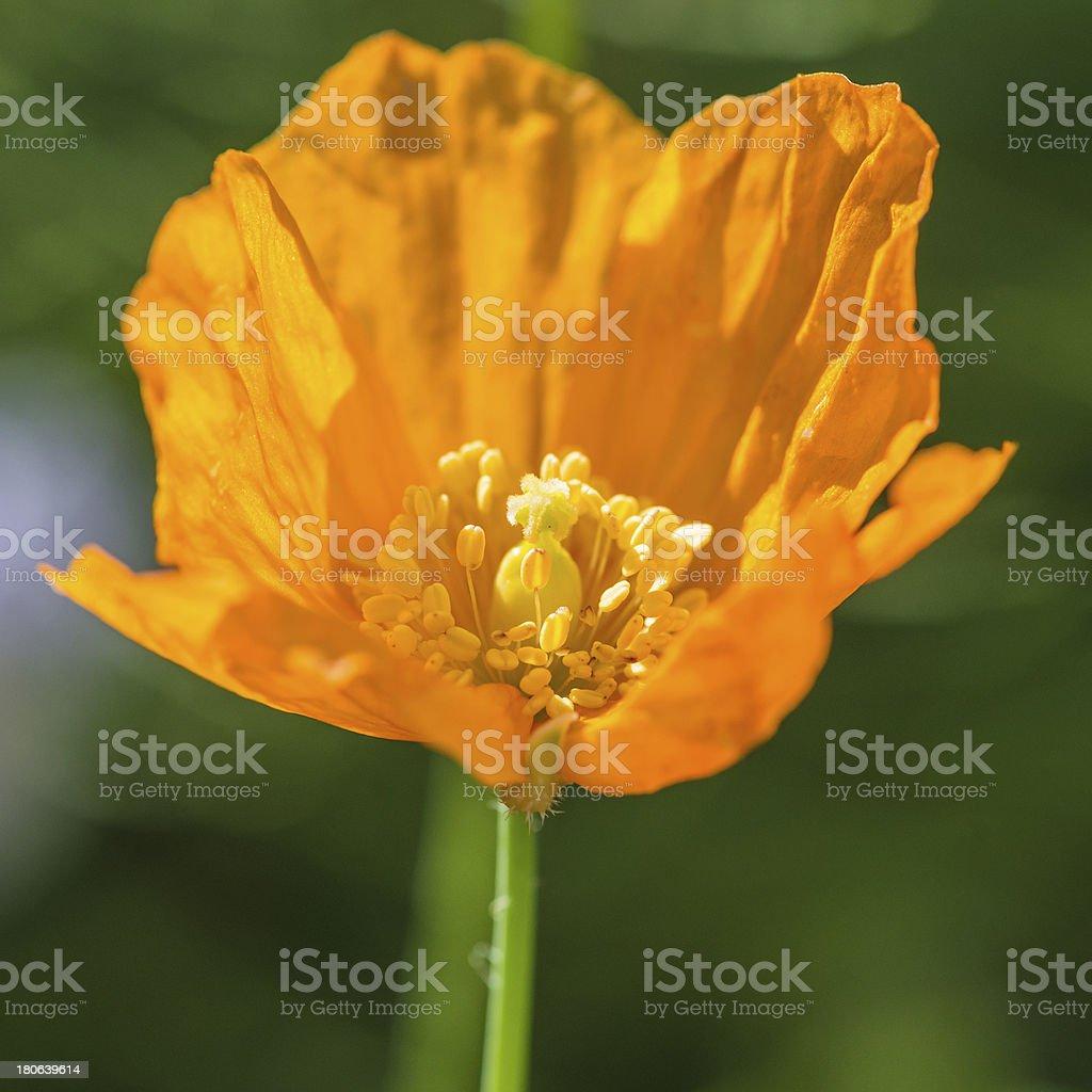 Late Summer Poppy royalty-free stock photo