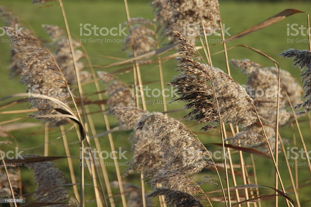Late summer reed stock photo