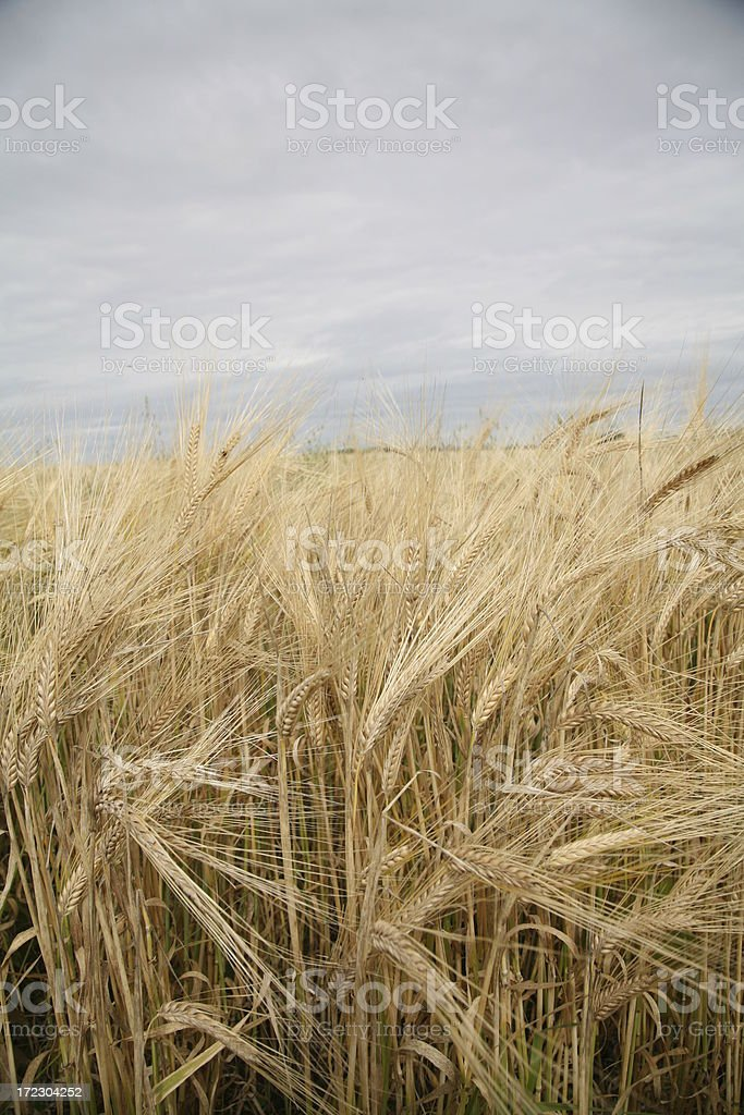 Late summer wheat in the prairies royalty-free stock photo