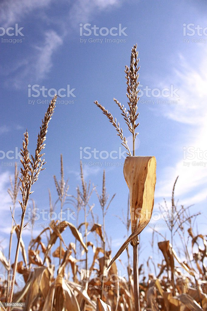 Late Summer's Corn royalty-free stock photo