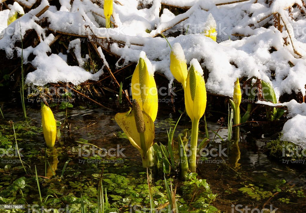 Late Winter Snow Covering Early Spring Skunk Cabbage stock photo