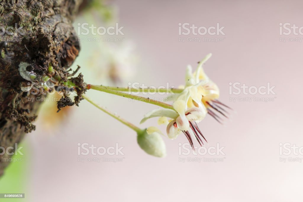 Lateral view cacao flower stock photo
