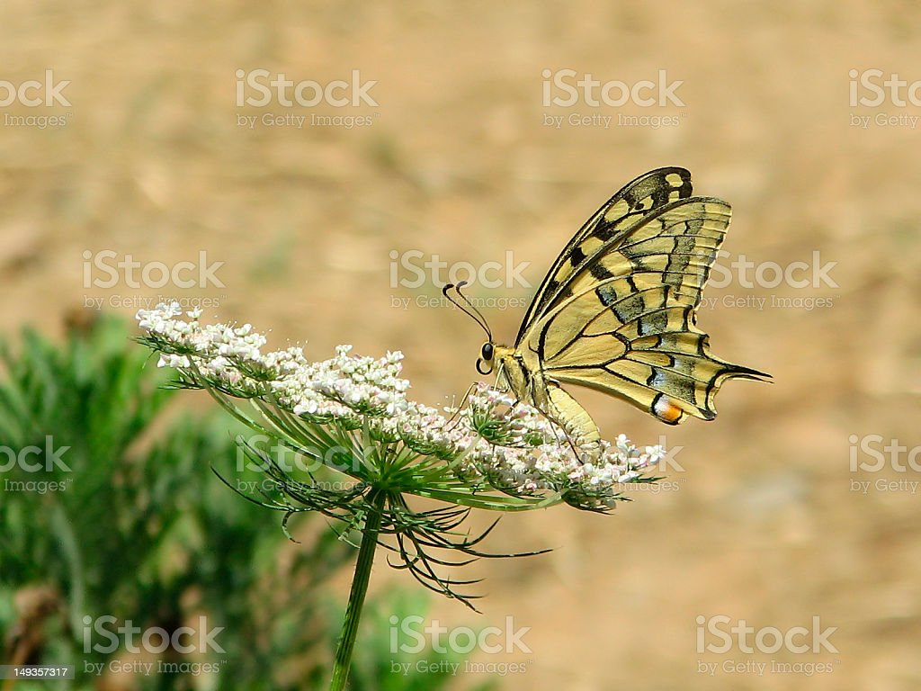 Laterally view Swallowtail butterfly stock photo