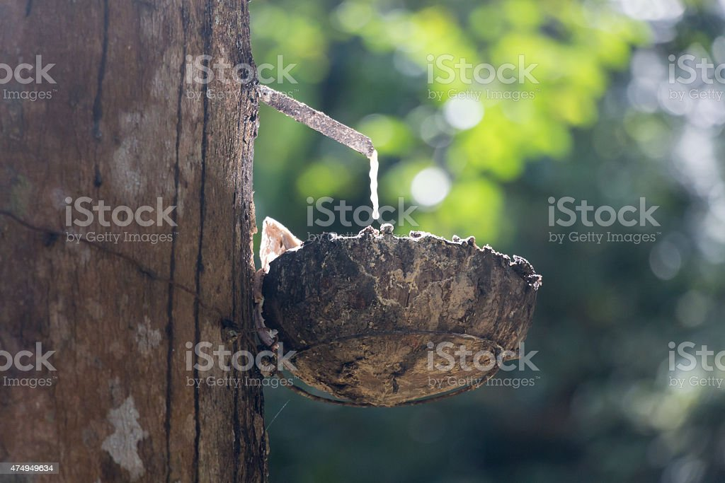 Latex dripping from a rubber tree in Thailand stock photo