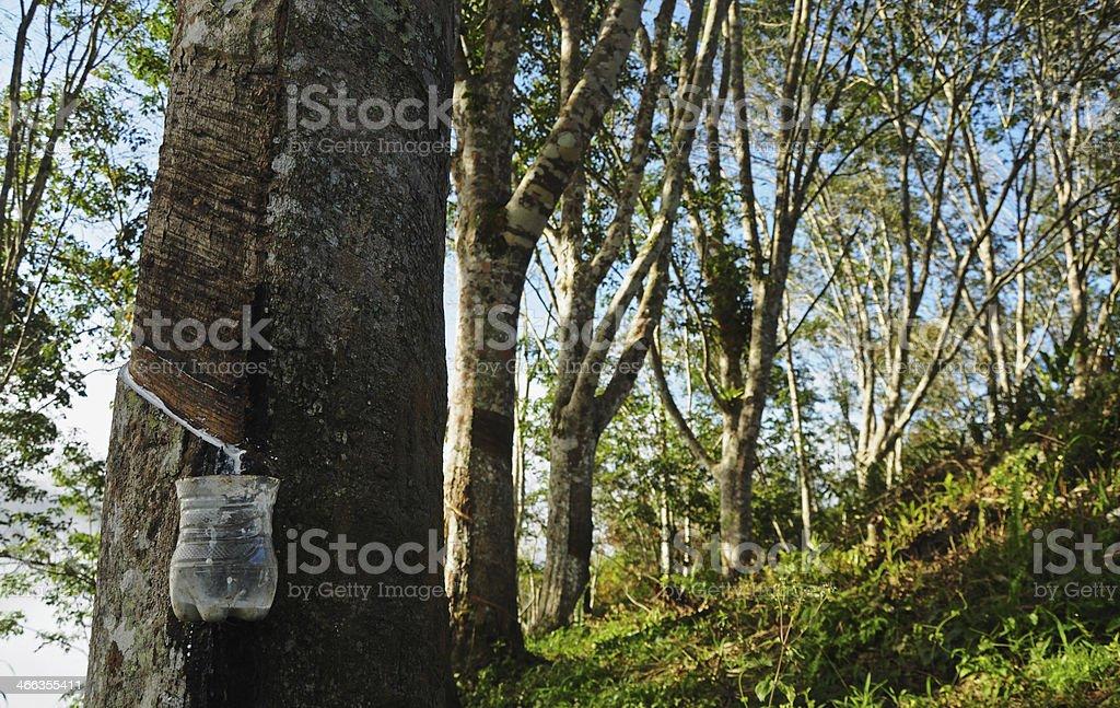 Latex plantation stock photo