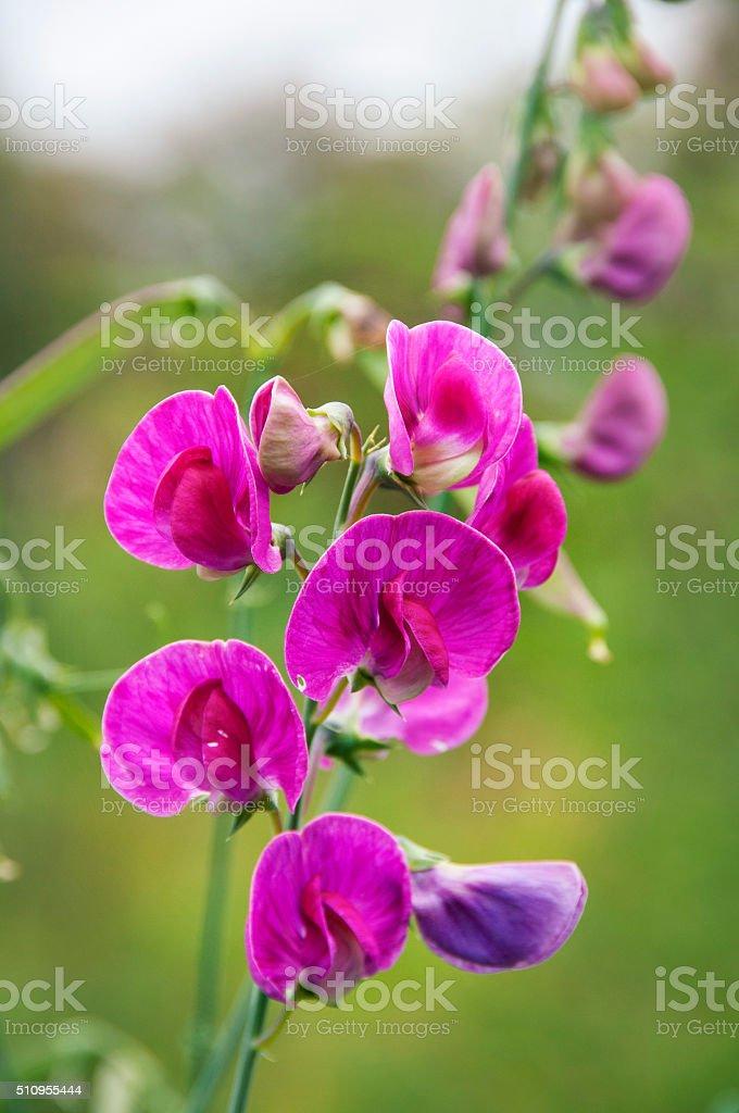 Lathyrus odoratus,sweet pears close up stock photo