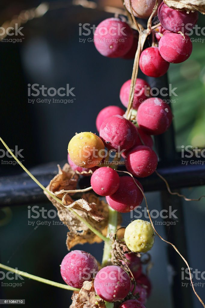 White bryony Bryonia dioica red berries and yellow stock photo