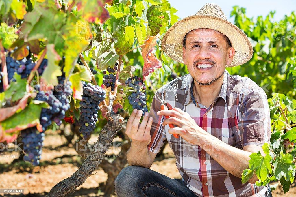 Latino man picking ripe grapes on vineyard stock photo