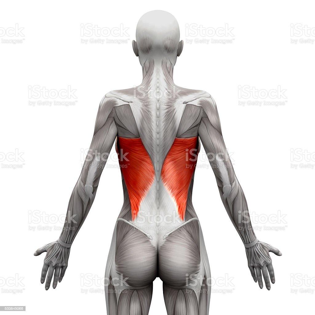 Latissimus Dorsi - Anatomy Muscles isolated on white stock photo
