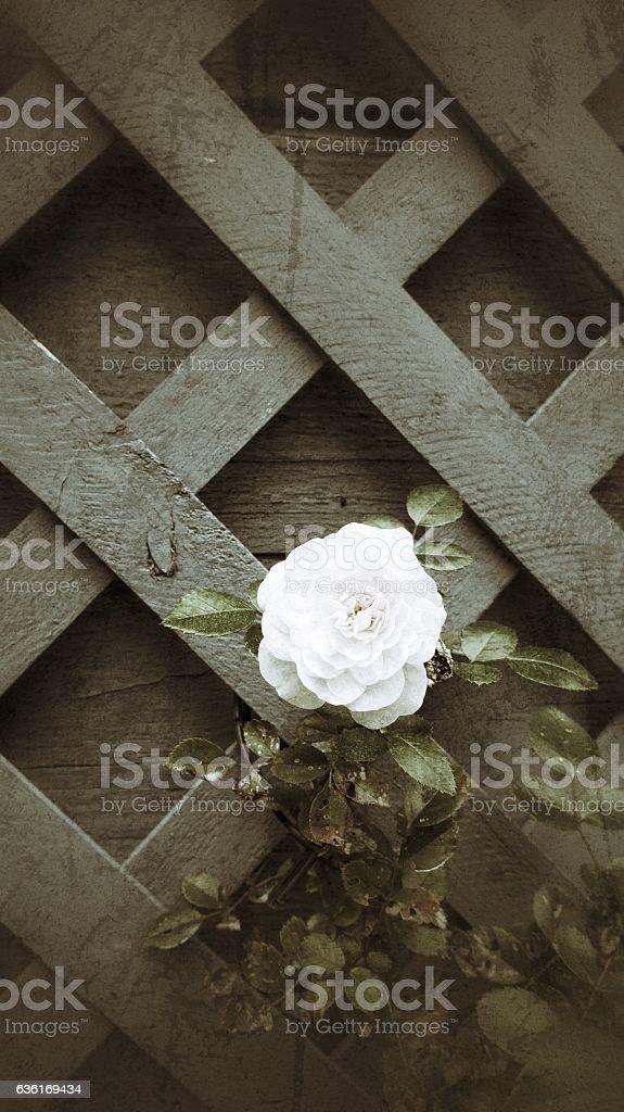 Lattice Panel One White Rose Trellice Dark Background stock photo
