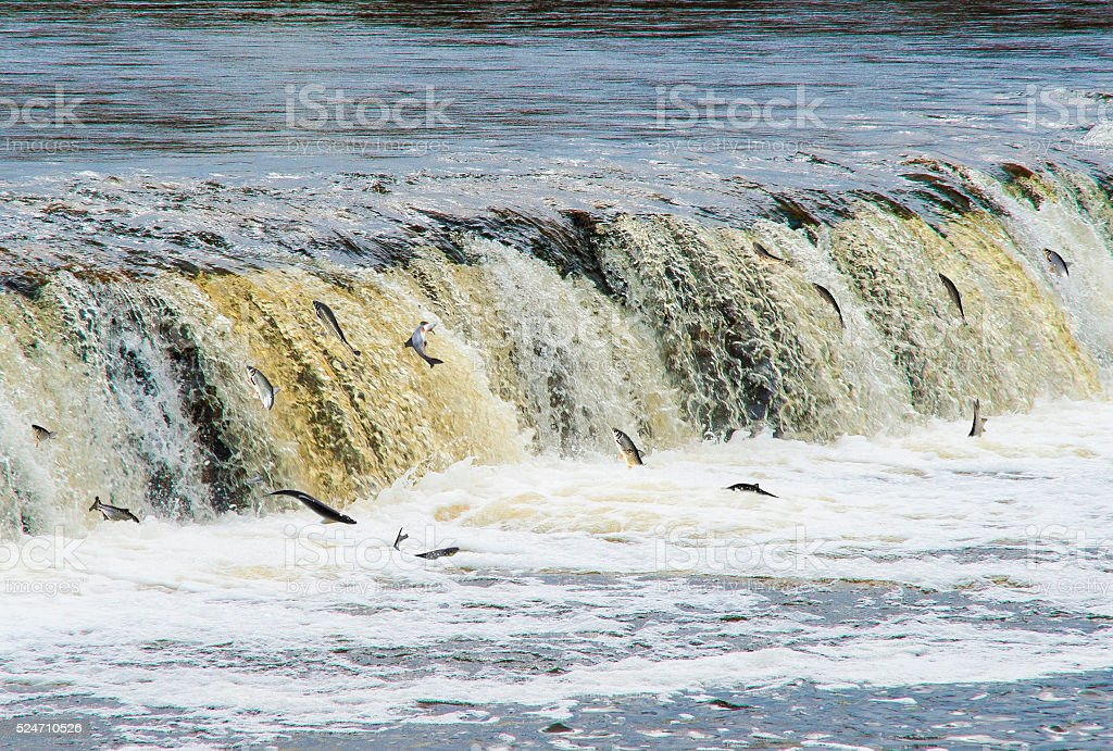 Latvia, Kuldīga. Fish (Vimba) swim to spawn, overcoming waterfall stock photo