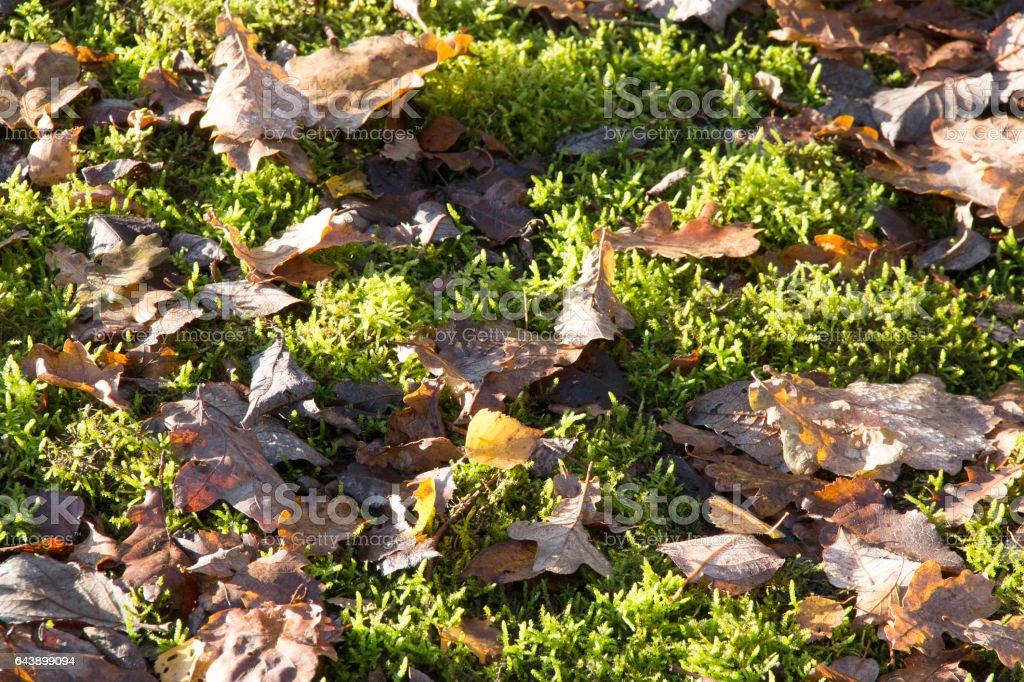 Laub auf Moosboden  Foliage on moss floor stock photo