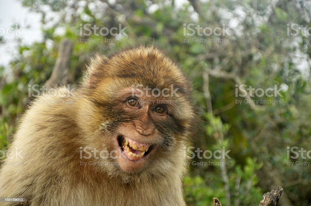 Laughing Barbary Ape, Gibraltar stock photo