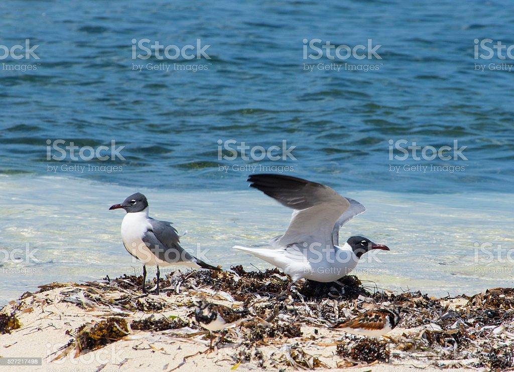 Laughing birds beach stock photo