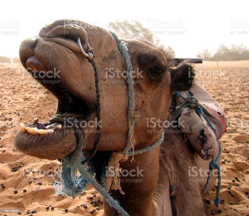 Laughing camel royalty-free stock photo