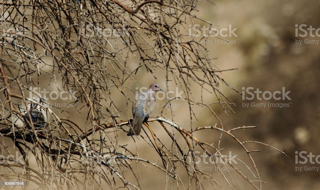 Laughing Dove stock photo