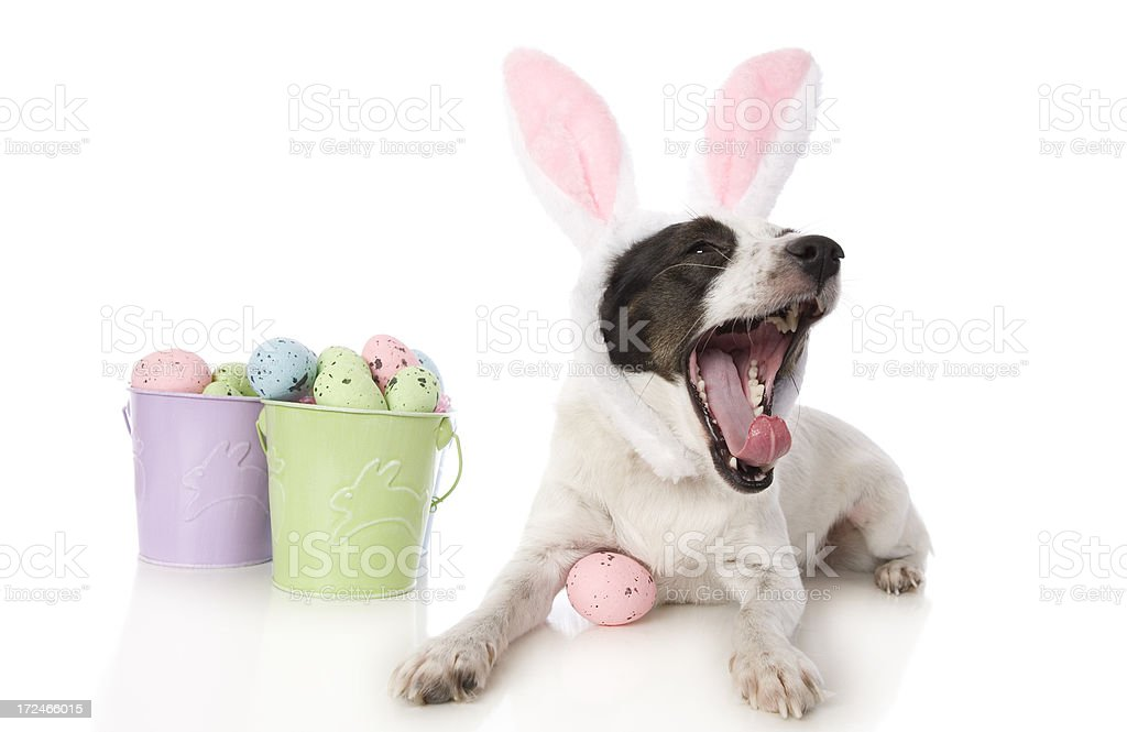 Laughing Easter Dog royalty-free stock photo